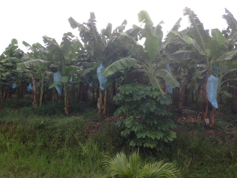 Banana farms along the roas